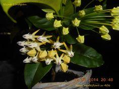 Hoya multiflora sv 406