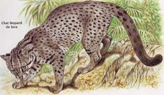 Javan Leopard Cat, Little Red-spotted Cat, The Kuwuk. Prionailurus bengalensis javanensis