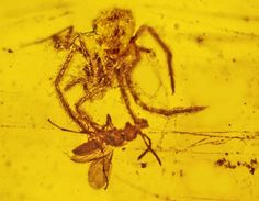 100-Million-Year-Old Spider Attack Recorded in Amber
