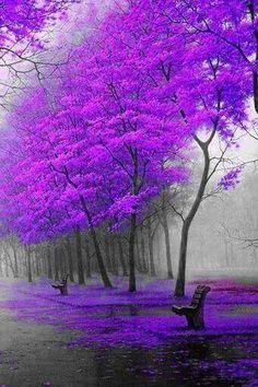 The perfect Bench to admire the Purple Trees.