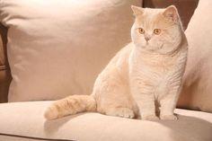 Beautiful British Shorthair Cat …