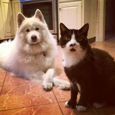 Samoyed and kitty Samoyed Dogs, Great Pyrenees, All Dogs, Animal Photography, Puppy Love, Fur Babies, Dog Breeds, Husky, Samoyed
