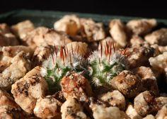 Mammillaria perezdelarosae andersoniana 6 months old seedlings