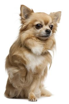 Chihuahua, 7 years old, sitting in front of white background Chihuahua Facts, Chihuahua Puppies, Baby Puppies, Chihuahuas, Dog Breath, Pet Dogs, Pets, Doggies, Dog Poses