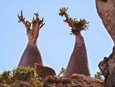 Uma das plantas da ilha de Socotra é a árvore gigante suculenta Dorstenia gigas, espécie botânica pertencente à família Moraceae. Enquanto as árvores podem parecer estranhas, muitas são delicadas e estão em perigo de desaparecer para sempre, pois o meio ambiente da ilha está lenta mas seguramente mudando. Fotografia: Reddit user Geeky.
