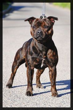 Uplifting So You Want A American Pit Bull Terrier Ideas. Fabulous So You Want A American Pit Bull Terrier Ideas. Tattoo Bull Terrier, Bull Terrier Dog, English Staffordshire Bull Terrier, American Staffordshire, Pitbulls, Nanny Dog, Beautiful Dogs, Dogs And Puppies, Corgi Puppies