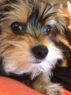 """That """"morkie"""" expression ......priceless...."""