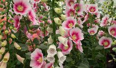 Hollyhocks and foxgloves, The Botanic Nursery, Hampton Court, July 2015 Hampton Court, Hollyhock, Floral Wreath, Nursery, Wreaths, Flowers, Plants, Gardening, Flower Crowns