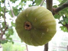 Vijg rijp Ficus, Diana, Greece, Beverages, Hair Beauty, Apple, Fruit, Garden, Plants