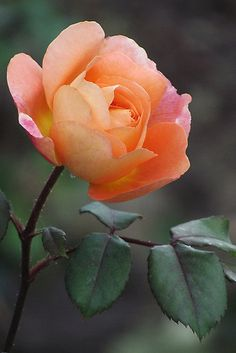 Lady Hamilton Rose II by Rogere0829