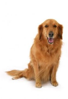 Golden Retrievers:  Their peaceful attitude and affectionate personalities are apparent in their posture and in the way they interact with their humans.