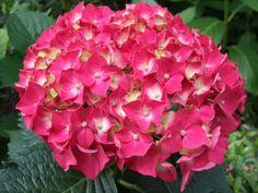 new for this years garden, pink hydrangea Hydrangea Flower Pictures, Big Flowers, My Flower, Beautiful Flowers, Planter Hortensia, Hortensia Hydrangea, Hydrangeas, Pink Hydrangea Bouquet, Hydrangea Care
