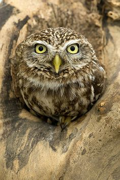 Little Owl ~ athene noctua,  Europe, Asia, and north Africa