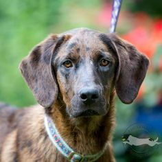 Meet Giselle, a Petfinder adoptable Catahoula Leopard Dog Dog | Wake Forest, NC | Giselle has very quickly won the hearts of everyone at the farm.  That is because she wears her...