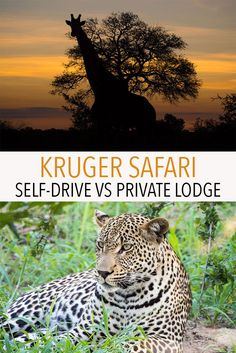 A Kruger safari is a highlight of South Africa but which safari is right for you? Click through for a comparison of self-driving in Kruger National Park vs staying in a luxury lodge in a private game reserve in Greater Kruger.