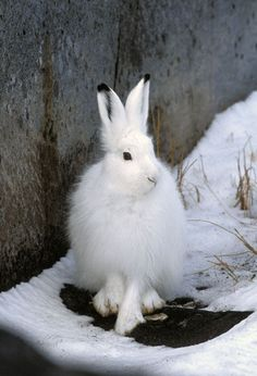 The Arctic Hare (Lepus arcticus) is the largest hare in North America. Photography by Greg Lasley. S)