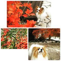 ・ 紅葉狩りって何⁉ ・ 僕は、リンゴ🍎狩りやイチゴ🍓狩り の方がいいなぁ~ ・ 庭のカエデと南天、山ツツジが真っ赤に紅葉🍁しました 何処にも行けないので庭で紅葉狩り😅 2016.11.14 ・ The leaves of the trees in my garden have turned completely red. ・ #パピヨン#愛犬#犬バカ #風太はやっぱり紅葉より団子 #落ち葉咥えて走り回ってます #私が怒鳴って追いかける #足が早くて追い付かない #最後は大声で威嚇 #風太ビクッて瞬間止まる #拡声器はいらないな #papillon#papillondog#papillonlove #papillonstagram#dog#dogstagram #doglove#redleaves#garden