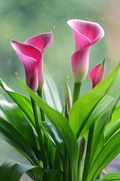 Calla Lily: tough to get to bloom at my house. Exotic Flowers, Amazing Flowers, My Flower, Flower Power, Pink Flowers, Beautiful Flowers, Lilies Flowers, Strange Flowers, Purple Tulips