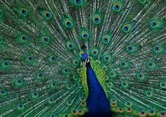 Male Peacock Pictures - Bing Images