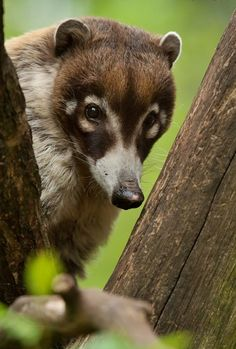 Coatis, genera Nasua and Nasuella, also known as Brazilian aardvarks,Mexican tejón or moncún, hog-nosed coons, pizotes, Panamanian gatosolos, crackoons, and snookum bears, are members of the raccoon family (Procyonidae). They are diurnal mammals native to South America, Central America, and south-western North America.