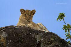 Mara Lion Cub by Mario Moreno on 500px