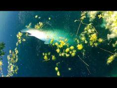 Big grass carp (white amur) - http://dkenvironmental.com/blog/big-grass-carp-white-amur/