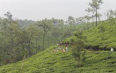 Kerala, India, landscape with coffee  fields