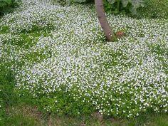 Почвопокровные многолетники. Какие растения и цветы лучше всего использовать для сада. Стелющиеся по земле и ползучие, цветущие все лето.