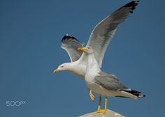 City Gulls - Gull are regular visitors of towns and cities. These 2 Yellow-legged Gulls were resting on a chimney.  Thank you all for paying attention on my work, your likes and your comments