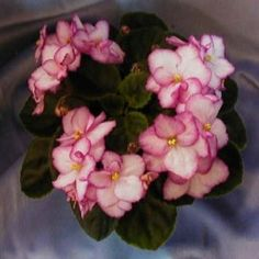 Robs Heat Wave - Sdbl. cream pink with clear cherry-red edging.  Easy bloomer.  Dark semiminiature foliage.  AVSA #7887  Source:  Bloomlovers