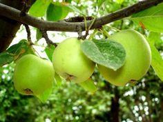 Воздушные отводки: размножение яблони без прививок У каждого садовода наверняка найдется старая любимая яблоня, которая уже долгие годы радует своих хозяев ароматными и вкусными плодами. И не всегда даже помнится сорт этого плодового дерева. А так хоч…