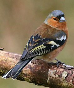 Chaffinch (Fringilla coelebs). A common Eurasian finch. photo: Blue Melanistic.