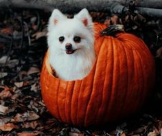 10 pomeranians who love pumpkins as much as humans do - Particle News