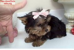 free-classifieds-ads.org - ADORABLE T - CUP YORKIE PUPPIES FOR ADOPTION