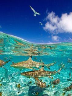 Buceando entre tiburones. Bora Bora.