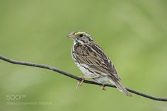 Savannah sparrow on a wire (Daniel Parent / Gatineau / Canada) #NIKON D500 #animals #photo #nature