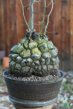 Dioscorea elephantipes by ktvamp, via Flickr