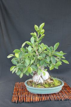 Ginseng Ficus - great page full of useful info