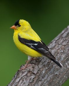 American Goldfinch Male 1-SummerCopyright © Peter Stahl