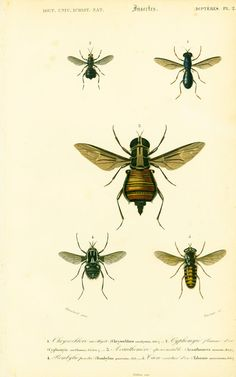 1861 Chrysochlore améthyste Bombylie ponctuée Taon ceinturé d'or Orbigny Planche Originale  Couleurs peintes main Histoire Naturelle