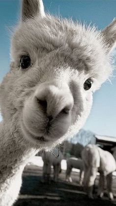 Whether its a llama or alpaca...i want one