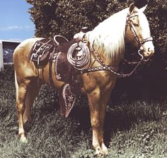 Trigger. originally named Golden Cloud, was a 15.3 hands palomino horse, made famous in American Western films with his owner/rider, cowboy star Roy Rogers. Trigger's sire was a Thoroughbred and his dam a grade (unregistered) mare who, like Trigger, was a palomino.
