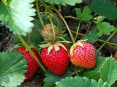 Le fragole da piantare e coltivare in vaso o nell'orto
