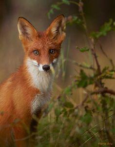 Red Fox by Merje Aru