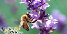 Bee on lavanda flower