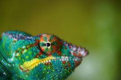 Panther chameleon - Madagascar (by Jamie Crawford)