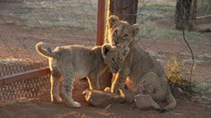 Petition · South African Government: Please Ban the Cruel Breeding of Blood Lions! · Change.org      Hand raised to be friendly, then starved so they run to their handlers as they are shot  many times but die slowly in agony!