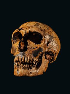 Neanderthal skull~ Historical Artifacts, Ancient Artifacts, Collections D'objets, Medieval, Extinct Animals, Prehistoric Creatures, Ancient Mysteries, Prehistory, Primates