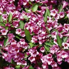 Minuet Weigela - close to the shed and fence
