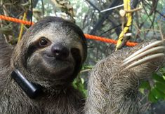 The Sloth Institute Costa Rica in collaboration with Toucan Rescue Ranch to begin release of orphaned sloths back into the rainforest. Vacation Resorts, Vacation Rentals, Three Toed Sloth, Orphan, Let Them Talk, Spirit Animal, Mammals, Costa Rica, Adventure Travel